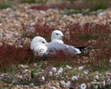 Common Gulls