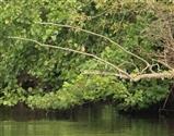 burton mere kingfisher 2