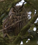Long eared owl 8th feb 15