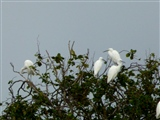 Egrets at RSPB Burton Mere