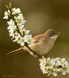 WHITETHROAT feeding in the Black Thorn blossom