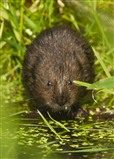 Water Vole