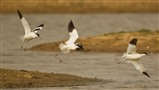 Avocet thriving at Boyton RSPB