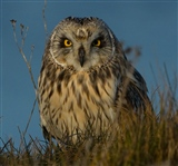 Short Eared Owl Sitting on the river bank