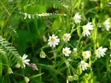 Stitchwort (Stellaria sp)