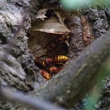Hornet's nest near the main footpath from the car park.