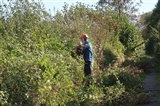 Cutting the Turf Path hedge on Exminster Marsh
