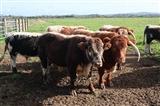 English Longhorn cattle RSPB Exminster Marsh