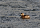 Little Grebe with dinner