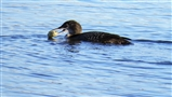 Great Northern Diver with a crab