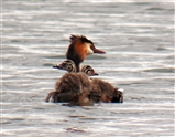 Great Crested Grebe and cute chicks catching a ride on