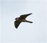 Hobby's are patrolling on the hundreds of Dragonflies.