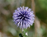 Globe Thistle, beautiful wild flower not so often seen.