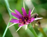 Salsify flower, gorgeous looking wild flower and classified as a vegetable with an oyster flavour root, YUK!