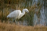 Little Egret fishing on edge of new scrape