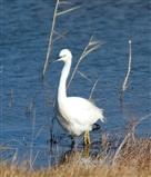Little Egret on New Scrape.
