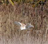 Barn Owl at SW corner of Ferry Lagoon at 11.15am today.