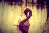 swan .