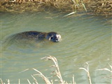 Seal at Fen Drayton