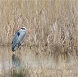 Heron at Fen Drayton Lakes