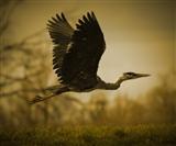heron flying away