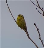 Seen at Fen Drayton Lakes 11 March 2016