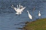 Arguing little egrets