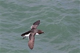 Razorbill flight
