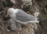 Kittiwake adult and chick
