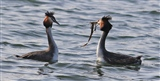 12th march-Great Crested Grebes