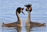 A perfect couple-Grt Crested Grebes