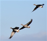 Eurasian white fronted geese