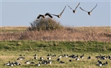 White fronted and barnacle geese