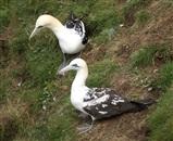 Immature gannets
