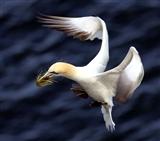 gannet nest building