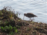 Curlew, Hayle Estuary 1.10.2011