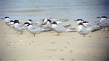 Terns at Porth Kidney beach