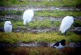 Little egrets and oystercatcher