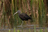 Glossy Ibis by Roger Salter