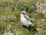 Wheatear 21 March 2016