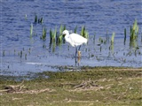 Little egret 21 March 2016
