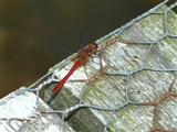 Ruddy Darter by Christine Moore