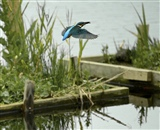 Kingfisher fishing.