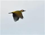 Green Woodpecker at Old Moor 29Sept