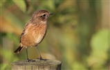 Stonechat from Bittern Hide