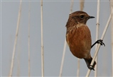 Stonechat on reeds at Bittern Hide