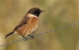 Stonechat on Wire