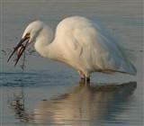 L. egret.Teatime