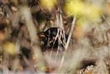 young Blackbird playing hide on Green Lane