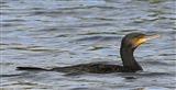 Cormorant at Wath Ings